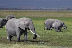 5 DAYS AMBOSELI AND TSAVO KENYA SAFARI TOUR