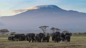 Elephant with mount Kilimanjaro in the back ground