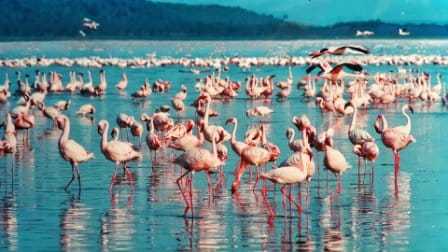 Flamingoes in Lake Nakuru