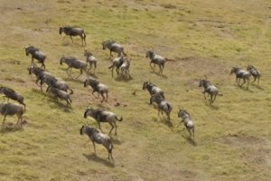 Wildebeest Masai Mara