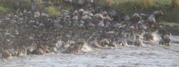 wildebeest-migration-2322110__340