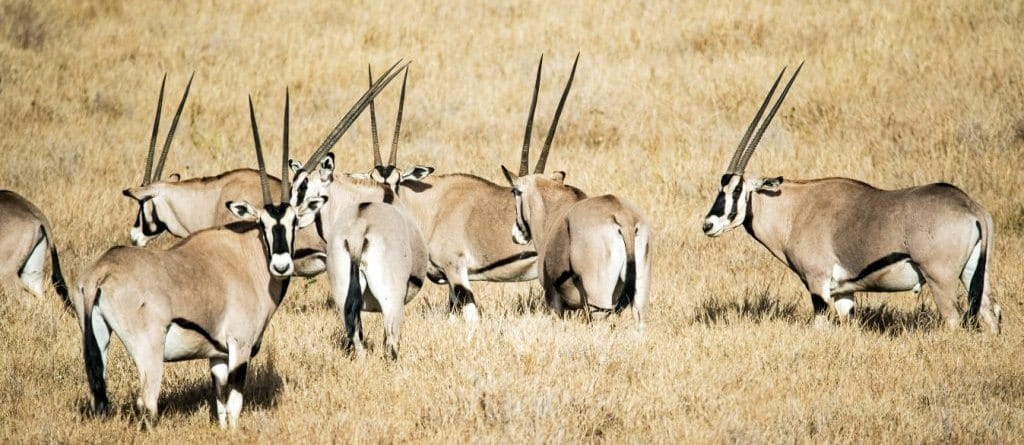 Samburu National reserveBeisa Oryx