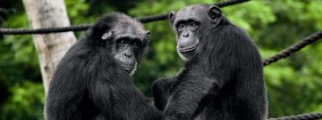 chimpanzee ol pejeta