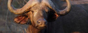 Buffalo tsavo west