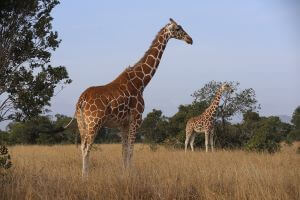15-DAYS KENYA WILDLIFE AND BIRDING SAFARI
