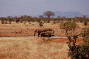Elephants in Tsavo